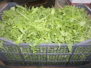 Rucola-selvatica-coltivata